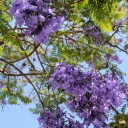 Ushering in Mexico's hot spring: Tia Tepache and the jacarandas